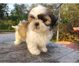 4 male Shih tzu puppies for sale