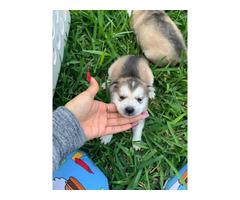 Beautiful blue eyes Pure breed Siberian huskies
