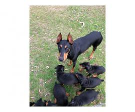 Akc Doberman Pincher Puppies full registration