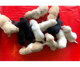 Little Labrador Retriever puppies for Valentines Day
