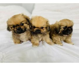 Incredibly sweet full-blooded Pekingese puppies