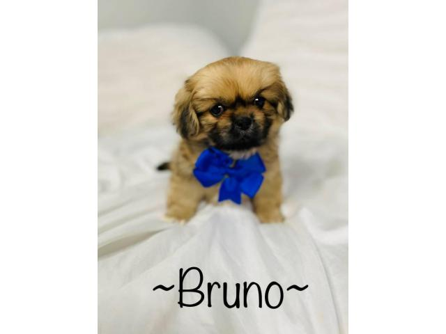 Incredibly sweet full-blooded Pekingese puppies in Maryland USA