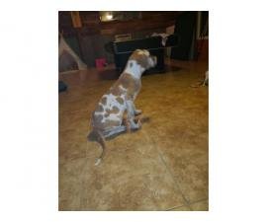 Three great Dane puppies left
