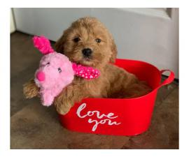 Pretty F1B Goldendoodle Puppies
