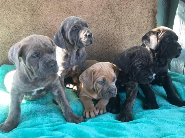 5 Females 2 Males Purebred Cane Corso Puppies In Sacramento California Puppies For Sale Near Me