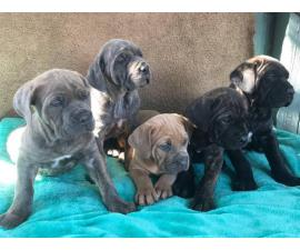 5 Females 2 Males purebred Cane Corso puppies
