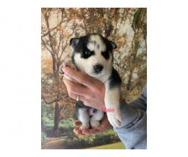 4 Amazing Huskies up for sale