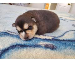 Male Alaskan Klee Kai puppies