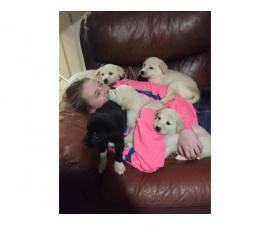 8 Gorgeous Pyrador puppies for sale