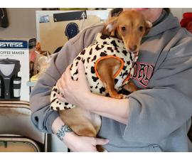 1 female brown Chiweenie puppy for rehoming