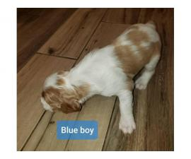 Two boys Pure Bred Brittany Pups for sale