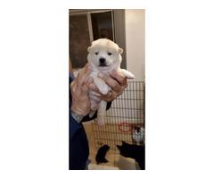 Tan & Black Shiba Inu puppies for Sale
