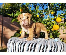 English bulldog puppy ready for his forever home