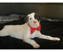 Boxer Puppies are ready to go
