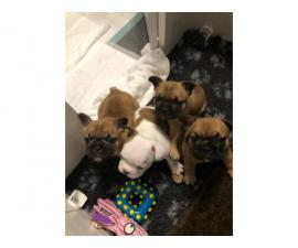 Blue/lilac/chocolate,fawn French Bulldog Puppies