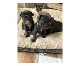 Blue And Tan Puppies French bulldog puppies for sale
