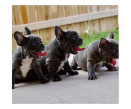 Lovely Blue Puppies French Bulldog