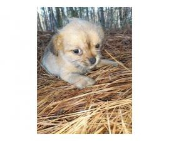 One girl Shichi puppy