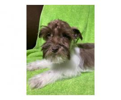 Miniature schnauzer male puppy