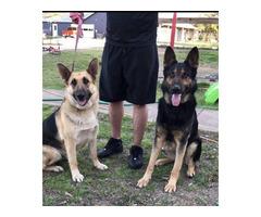 2 German shepherd female full blood puppies