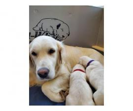 3 girls 4 boys fullblooded English Cream Golden Retriever puppies