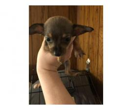 Friendly Chiweenie puppies for sale