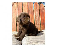 6 stunning AKC registered Chocolate Lab puppies