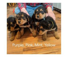 5 Pure bred Airedale puppies