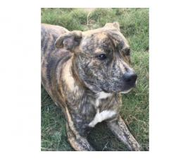 Male brindle pitbull puppy for rehoming