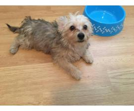 Cute Yorkshire Terrier puppy looking for a new home