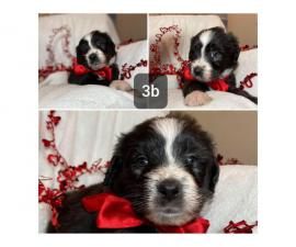 7 gorgeous Aussiedoodle puppies