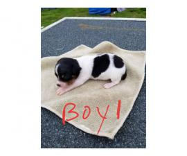 2 Male toy Rat Terrier puppies for sale