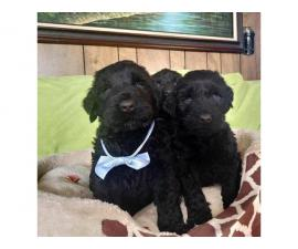 2 month old AKC Black Russian Terriers