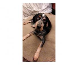 4 month old Registered Bluetick coon hound puppy