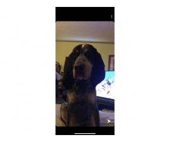 4 month old Registered Bluetick coon hound puppy