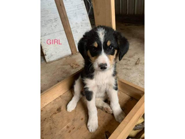 Bordoodle Puppies Male And Female In Edmonton Kentucky Puppies For Sale Near Me