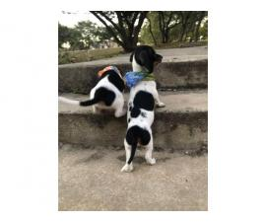 Dachshund Puppies Ready for Valentine's Day!