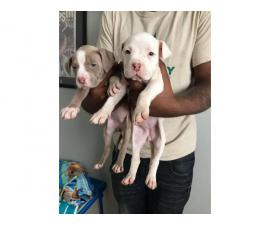 2 females Pit bull puppies left