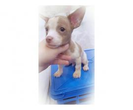 Teacup Chihuahua Puppy with blue eyes