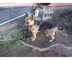 6 German Shepherd puppies available