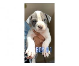 2 boys and 5 girls left blue nose American pitbulls