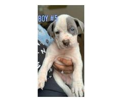 2 boys and 5 girls left blue nose American pitbulls