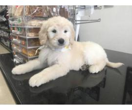Sweet Goldendoodle puppies for sale