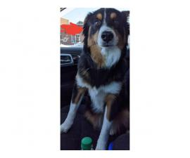 Rescue Border Collies for rehoming
