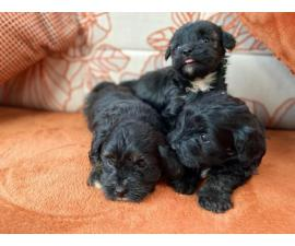 Toy Maltipoo Puppies Looking For Homes text  (802) 265-6723