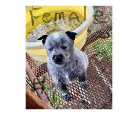 6 Blue Heeler puppies for sale