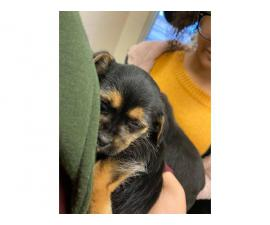 Miniature schnauzer puppy looking for a loving family