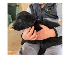 Labradoodle Puppies to be rehomed