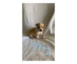 Two apple head teacup chihuahua puppies
