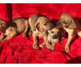 Adorable brown Chiweenie puppies